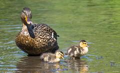 A Mother's Love (swmartz) Tags: mallards birds ducks outdoors wildlife waterfowl nikon nature newjersey