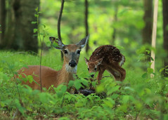 Doe and new born fawns_08 (Scott_Knight) Tags: doe newborn babies deer whitetail woods chippewafalls wisconsin paintcreek lakewissota canon lucky morning trees outdoor wildlife distinguisheddeer nature