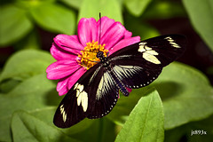 Doris Longwing (jt893x) Tags: 105mm afsvrmicronikkor105mmf28gifed butterfly d810 dorislongwing heliconiusdoris insect jt893x longwing macro nikon