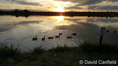 May 31, 2017 - Geese out for an evening swim. (David Canfield)