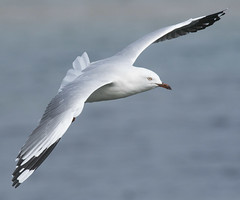silver gull flight narrabeen D500 300PF_DSC7226 (neilfif11) Tags: nikond500 nikon3004afsvrlens sydney silvergull