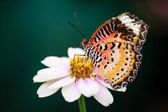 Butterfly (Joe_R) Tags: macro butterfly brooksidegardens silverspring maryland unitedstates us 6d canon flower