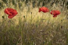 Fleurs_DSC0304 (hervv30140) Tags: paysage nature fleur coquelicot trois rouge prés prairie végétation printemps champ