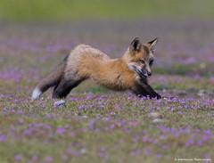 Red Fox Pup Stretch (wmckenziephotography) Tags: fox foxpup foxkit redfox