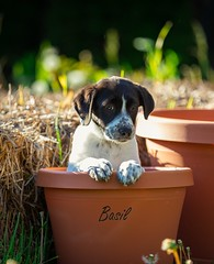 Basil (PhotoJacko - Jackie Novak) Tags: basil puppy springerspaniel lab mix dog spring animals pot canon ef 70200mm f28 animalplanet