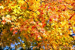 Autumn leaves (The Twisted Pixel) Tags: usa unitedstates newjersey glenrock autumn fall autumncolour fallcolor plant leaves beautyinnature streettree smalltownamerica red orange yellow sunlight outdoor