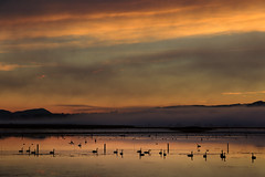 Black Swans in flood waters (Jos Buurmans) Tags: animals birds centralhawkesbay floodplains hawkesbay lakepoukawa landscape mist morning nature newzealand northisland plains sunrise swans tehauke wetland wildlife nz