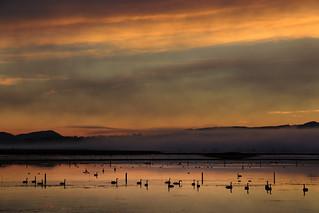 Black Swans in flood waters