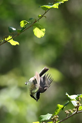 Black-capped Chickadee drops to lower branch...6O3A0104A. (dklaughman) Tags: chickadee bird blendonwoods columbus ohio
