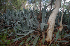 Agave americana and Eucalyptus camaldulensis, Forrestfield, Perth, WA, 21/05/17 (Russell Cumming) Tags: plant weed eucalyptus eucalyptuscamaldulensis myrtaceae agave agaveamericana asparagaceae forrestfield perth westernaustralia