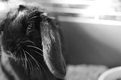 KERUBIM 2 (EL JOKER) Tags: rabbit lapin cony les allummers prod gimp nikon d7000 afs dx nikkor 35mm f18g noir et blanc black white 2017 linux potrait photo photographie photography png cc by nc nd creative commons animal pet ankama jeu game serie tv kerubim portrait