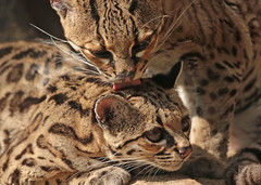 Margay artis BB2A2219 (j.a.kok) Tags: mammal margay margaycat feliswiedii kat cat zoogdier dier artis animal southamerica zuidamerika predator feline