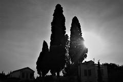 Cypresses (kellyp17) Tags: blackandwhite bnw trees sky sun cypresses melancholic outdoors