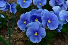 Sky blue violets DSC_0461 (Me now0) Tags: следобед софиябългарияевропа юженпарк никонд5300 китовобектив 1855mmf3556 цвете afternoon пролет spring europe nikond5300 basiclens park skyblueviolets