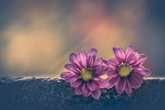 Gratitude (Ro Cafe) Tags: stilllife flowers garden backlight soft macro nikkormicro105f28 nikond600