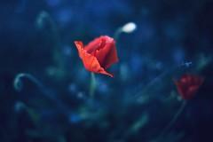Las flores rojas (una cierta mirada) Tags: flower flowers poppy poppies nature spring blue macro bokeh flora floral