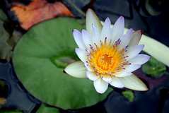 (Roi.C) Tags: lily waterlily water outdoors season whether spring winter nature nikkor nikond5300 nikon flowers macro