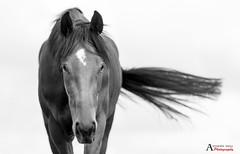 Darf ich mich vorstellen.. (AnthonyCNeill) Tags: pferd horse schwarzweiss thoroughbred racehorse black white nikon d750 85mm prime lens caballo cheval animal portrait headshot monochrome