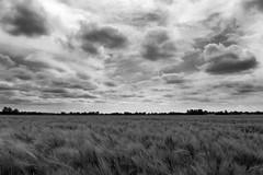 The Growing Fields II (Chris Goodacre) Tags: panasoniclumixdmclf1 thefens monochrome chrisg35mm photoscape