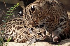 Margay artis BB2A2193 (j.a.kok) Tags: mammal margay margaycat feliswiedii kat cat zoogdier dier artis animal southamerica zuidamerika predator feline