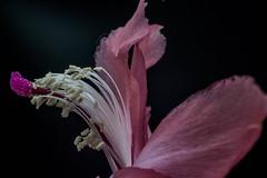 DSC_6146-2 (Sergio Nascimento BRAZIL) Tags: fundo preto nikon d7100 macro lens pentax 645 adapter dslr planta flor flawer
