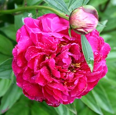 The Peonies have awakened from their long winter's nap (Lynn English) Tags: peonies deeppink yard droplets bud bej