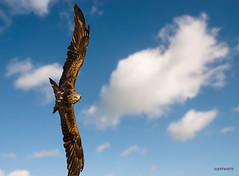 sighted target (jeff.white18) Tags: redkite kite preditor bird prey flight inflight wings feathers nature sky blue cloud clouds
