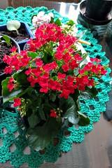 amores de sempre (luyunes) Tags: calandivas vermelho flores flor motoz luciayunes delicadeza