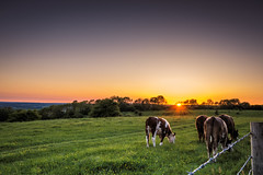 Grazing  ( Explore ) (Jez22) Tags: cow animal meadow nature grazing grass pasture field landscape cattle rural summer brown countryside farmland herd sky beef grassland cows bovine view sunny sunset sunlight dusk outdoors evening wye kent england weather copyright jeremysage explore