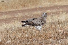 Short-toed snake eagle (Dave 5533) Tags: shorttoedsnakeeagle birdofprey wild nature bird canoneos1dx sigma150600mmf563dgoshsm wildlife animal outdoor naturephotography raptor eagle ngc npc