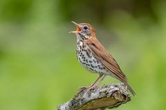 Wood Thrush (Joe Branco) Tags: branco joe joebrancophotography lightroomcc2015 photoshopcc2017 songbirds nikond500 nikon thrush birds wildlife woodthrush green