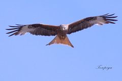nibbio reale (Tonpiga) Tags: tonpiga uccelliinlibertà faunaselvatica rapace predatore falco milvusmilvus nibbioreale uccello