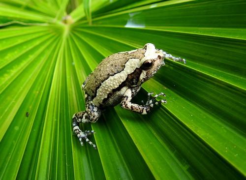 Banded Bull Frog Outside Hua Hin - Thailand