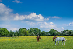 Horses Grazing in Woodgate Valley Country Park (KST Photography) Tags: grass eating flowers buttercup woodgatevalleycountrypark woodgatevalley horses brown eatinggrass bluesky birmingham summer food britishpark uk cloud animal grassland park grazing yellow white field