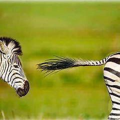 34875789891_40ba2bfafb.jpg (amwtony) Tags: burchells zebra stallion chasing rival rietvlei nature reserve south africa burchellszebra rietvleinaturereserve southafrica heathrowgatwickcarscom httpifttt2qyoxj7 ifttt facebook birds animals 341956715131f11b12617jpg 3500676990526956b34f1jpg 3419598975362e0ba8220jpg 34163060234d3c3bc7a8fjpg 34619290000b533fbf68ejpg 341632755244416deccf8jpg 34619545340fe51a48477jpg 35007405705081563649ajpg 34874922431dd19e54ea4jpg 34967293206a806cca0fdjpg 34196956113c60a91c72ejpg 348752086811fc5aea9ccjpg 348753401711d4bf0253ejpg 34875476231324f3450bejpg 3419749977356530c230fjpg