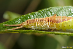 Puss moth moult IV (Dom Greves) Tags: behaviour caterpillar ceruravinula ecdysis heathland insect instar invertebrate larva lepidoptera moth pussmoth sloughing surrey uk wildlife woodland