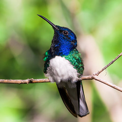 White-necked Jacobin (Paul E.M.) Tags: