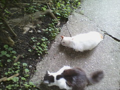 IMG11545pc (chicore2011) Tags: cats snacking