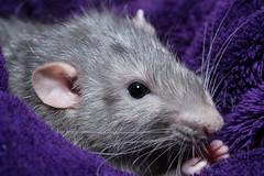 Fat Rat (meccabolix) Tags: rat purple 90mm a7rii sony animal macro f28 magmod magbounce