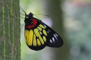 Liuzhou/柳州 - Delias pasithoe/Redbase Jezebel/报喜斑粉蝶 4597