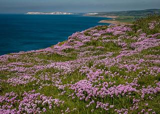 Wild Sea Thrift, Blackgang Chine, Isle of Wight.