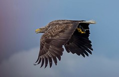 JWL0043 Eagle.. (jefflack Wildlife&Nature) Tags: whitetailedeagle eagle raptors raptor birdsofprey birds avian animal wildlife wildbirds seaeagle scotland hebrides mull