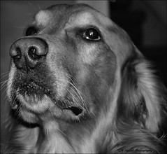 Waiting (John Neziol) Tags: jrneziolphotography pointynoseddogs interestingdogposes nikon nikoncamera nikondslr monochrome brantford blackwhite pet portrait dog dognose animal closeup goldenretriever fieldretriever nikond80 vizslakesbaratairetrieversandtheirdogfriends