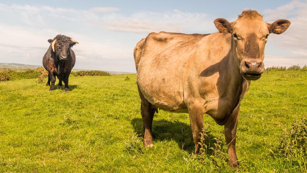 women sex with bull