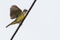 Gray-capped Flycatcher (J.B. Churchill) Tags: birds comandanciadesarapiquíroad costarica flycatchers gcaf graycappedflycatcher heredia places taxonomy cr laselva