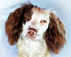 A Birthday Portrait (Missy Jussy) Tags: rupert rupertbear puppy portrait dogportrait dog animal springerspaniel spaniel englishspringer canon canon5dmarkll 50mm ef50mmf18ll canon50mm