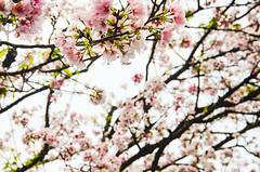 DSC_4434 (Frankie Tseng (法蘭基)) Tags: yms taipei taiwan flower flowers nikon cherryblossoms summer spring 2017 abstract blur bw bwphotography blackwhite yangmingshan 台北 櫻花 陽明山 台灣 抽象