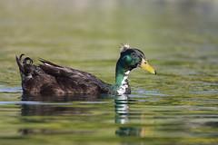 1DX10196 View Large. Crested Cayuga Duck or Domestic Crested Duck. Temecula, California (E.W. Smit Wildlife) Tags: california riversidecounty ef500mmf4lis ef500mmf4lis14x ef500mmf4lisusm ef500mmf4lisusm14x canonef500mmf4lisusm canonef500mmf4lis14x canonef500mmf4lisusm14x gimbalhead wimberley wimberleygimbalheadwh200 wimberleygimbalhead wimberleywh200 gitzo gitzotripod g1325mk2 gitzog1325mk2 gitzog1325mk2tripod aquaticbird wildanimals wildanimal tourist tourists telephotolens tripod unitedstatesofamerica usa outdoor outdoors supertelephotolens bird birds park parks animal avian animals socal canon lake nature wildlife 1dx canon1dx canonef500mmf4lis temeculariversidecalifornia temeculariverside temecula crestedduck duck domesticduck domesticcrestedduck canoneos1dx canonef14xextenderii canonef14x canonef14xextender 14x eos1dx temeculacalifornia