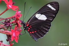 DSC_5711 ~ Fairchild Garden Doris Longwing (stephanie.ovdiyenko) Tags: fairchildtropicalgarden butterfly dorislongwing longwingbutterfly insect animal garden