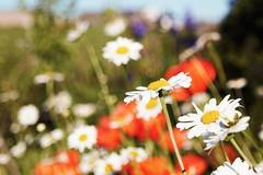Plaisir des yeux! (dominiquita52) Tags: flowers fleurs nature daisies marguerites pavots